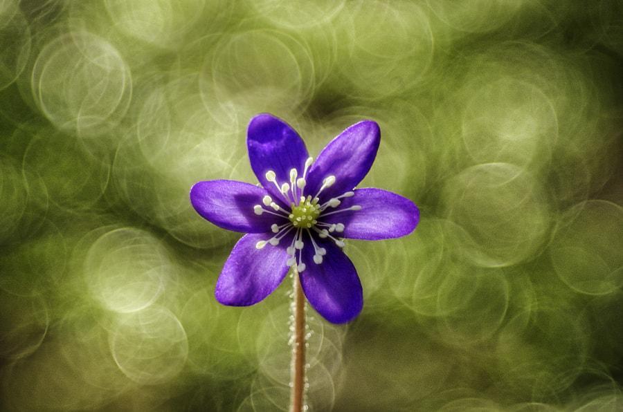 Hepatica nobilis by Markus Kauppinen on 500px.com