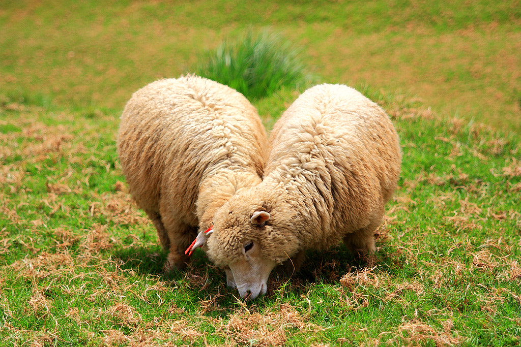 Photograph Compassion sheep by 黃 乃宗 on 500px
