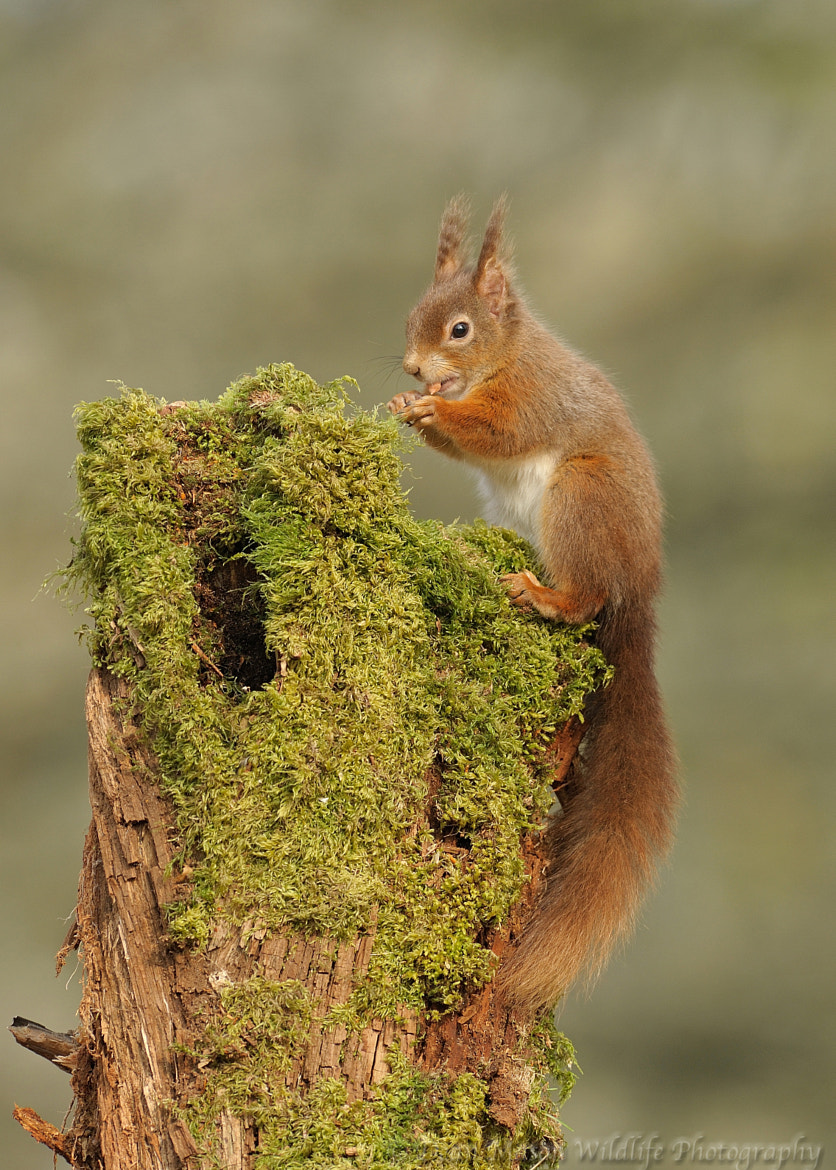 Photograph Red Squirrel on moss stump by Dean Mason on 500px