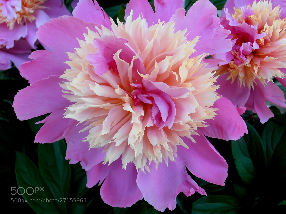 Photograph Adorable  peonies by Snezana Petrovic on 500px