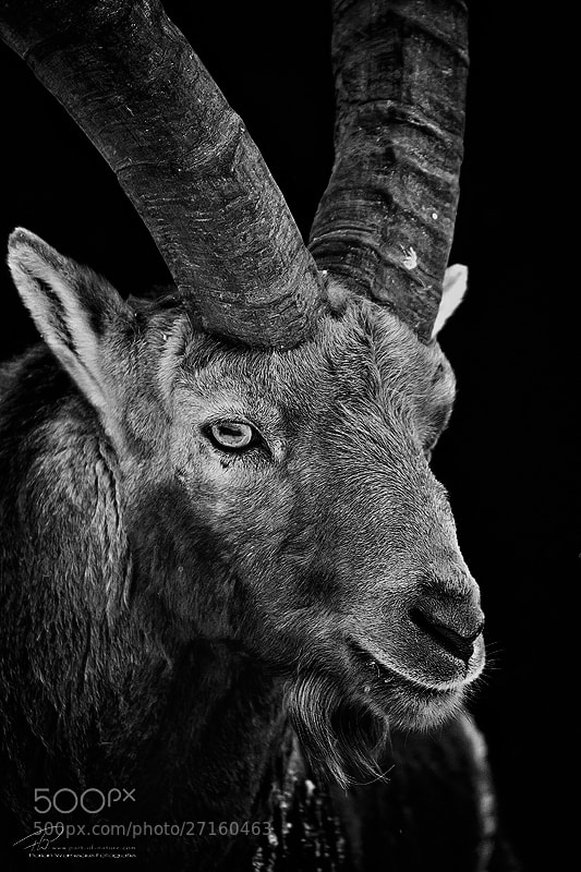 Photograph Alpine Ibex bw by Florian Warnecke on 500px