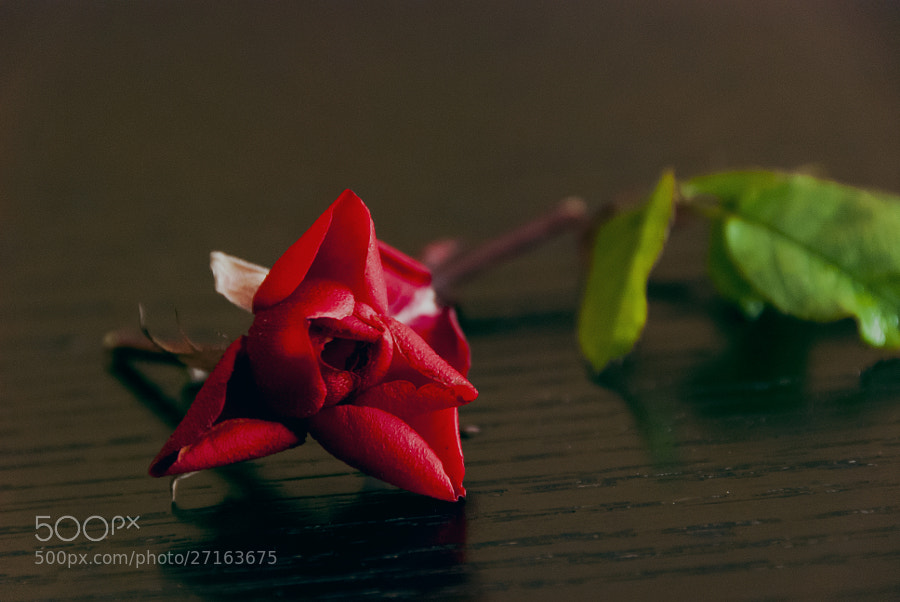 Photograph The rose by Felipe Carrasquilla on 500px
