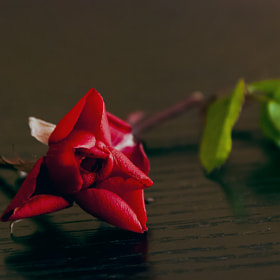 The rose by Felipe Carrasquilla (fcarrasquilla)) on 500px.com