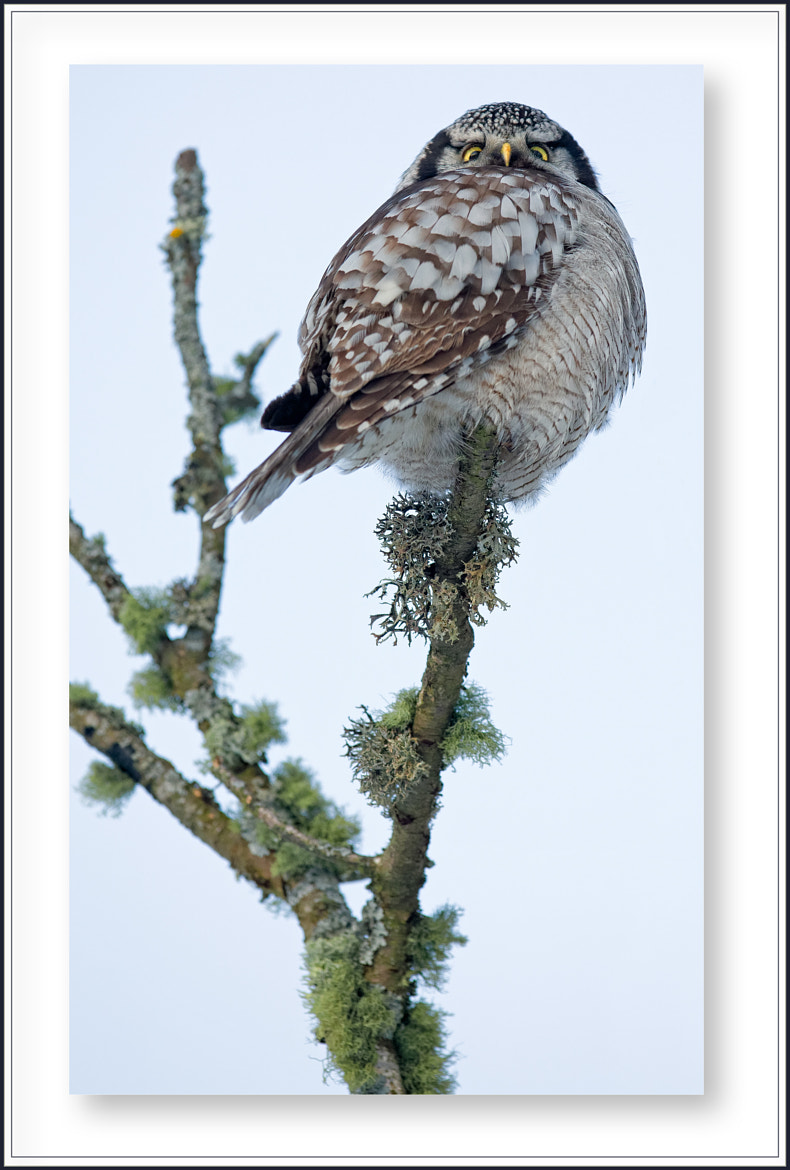 Photograph The Stern Gaze of the Northern Hawk-Owl by Charl Mellin on 500px