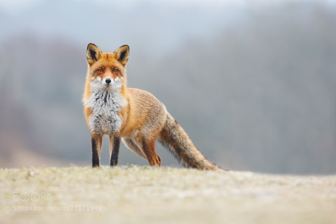 Photograph Red Fox  by Pim Leijen on 500px