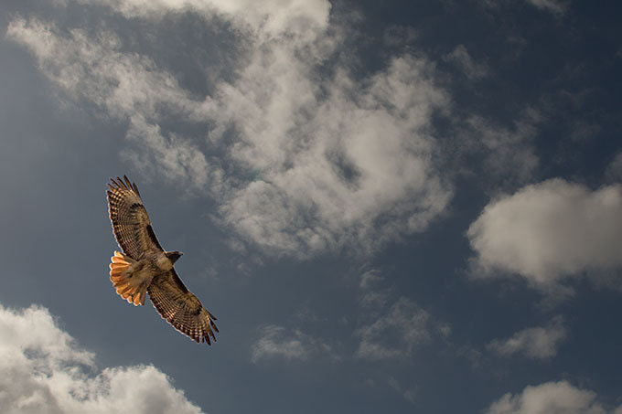 Photograph Red-Tail Hawk by Mike Clary on 500px