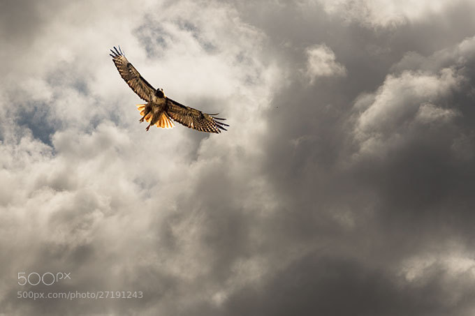 Photograph Canyon Lake Hawk by Mike Clary on 500px