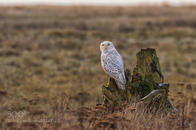Photograph Snowy Owl turned back to say goodbye by Martin Grančič on 500px
