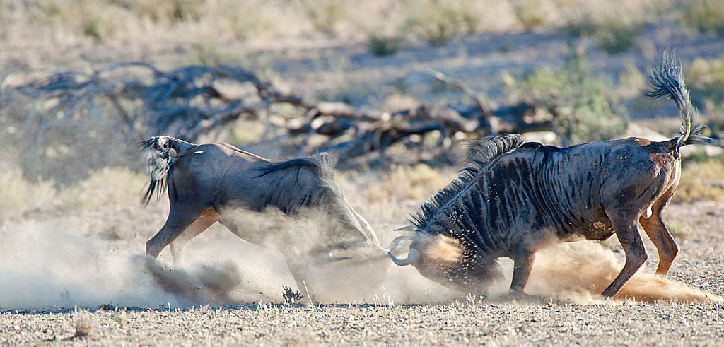 Photograph Fight in Dust by Bridgena Barnard on 500px