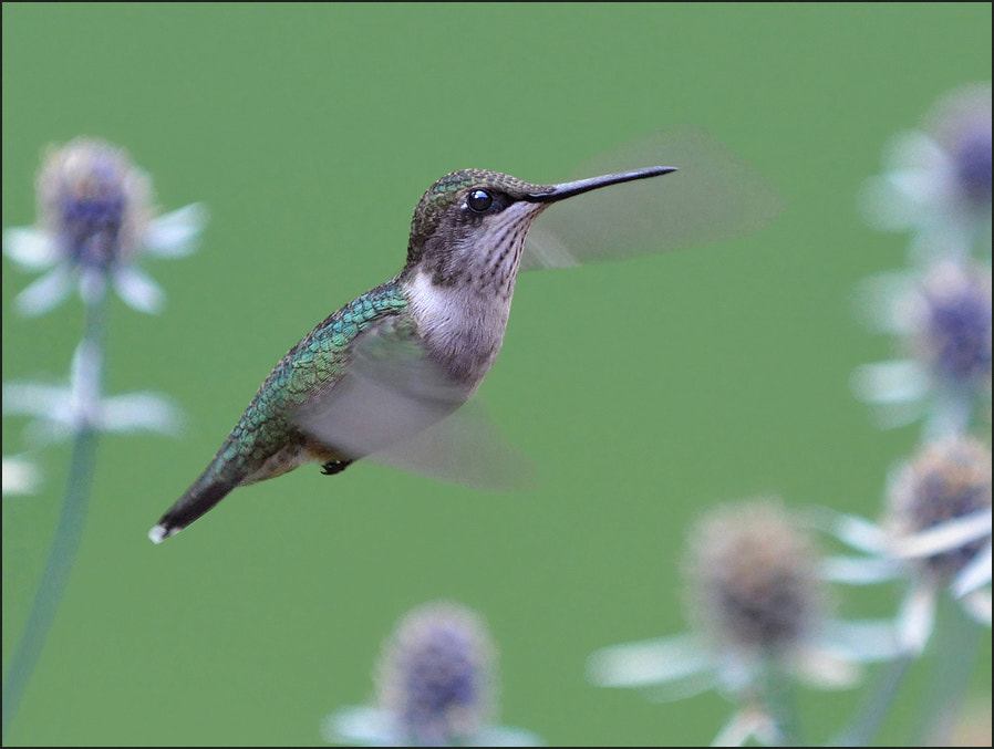 Photograph Hummingbird flight by Olga Titova on 500px