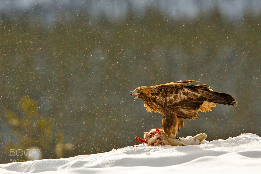 Golden Eagle and his prey