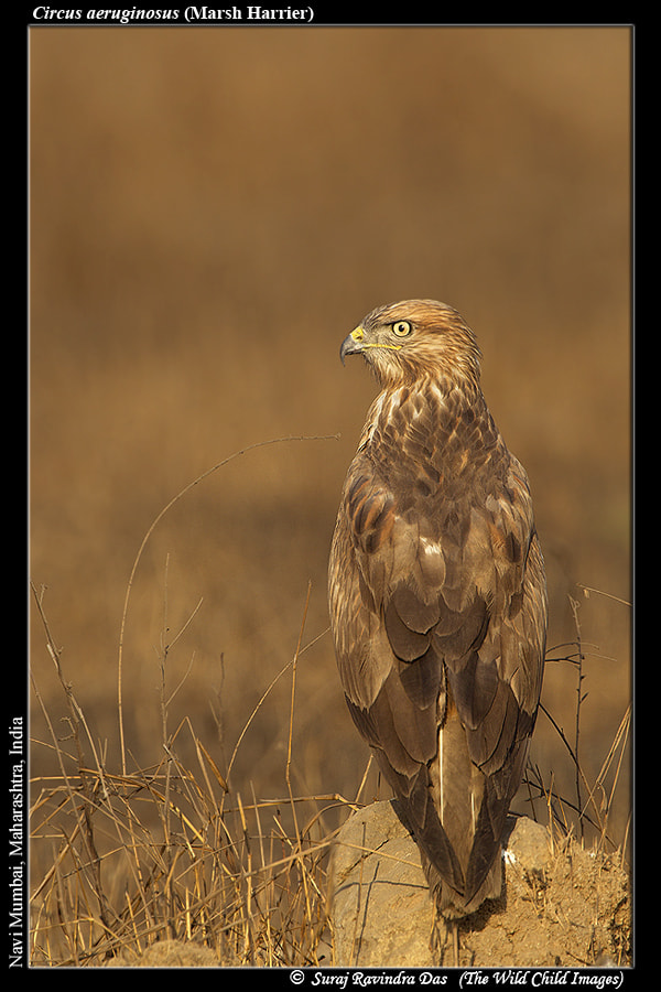 Photograph THE COMMON BUZZARD by THE WILD CHILD on 500px