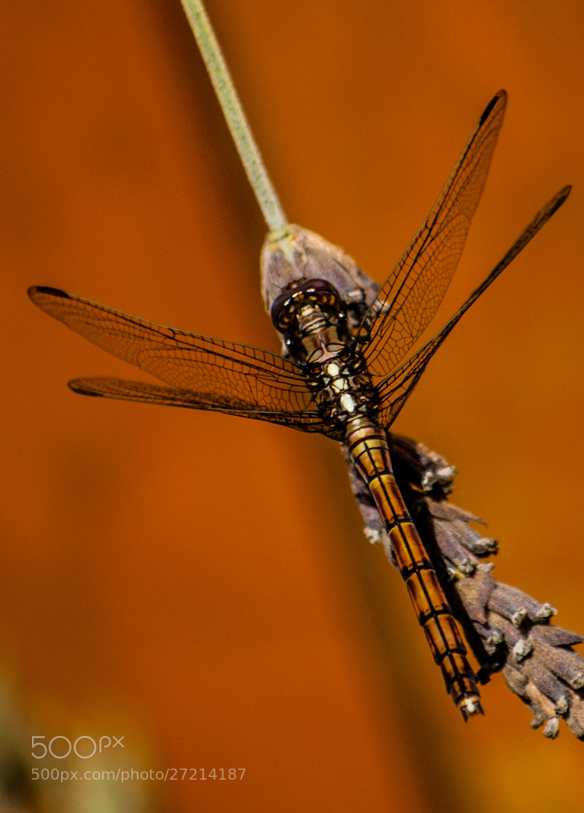 Photograph Nature's Helicopter by Hayden Scott-Williams on 500px