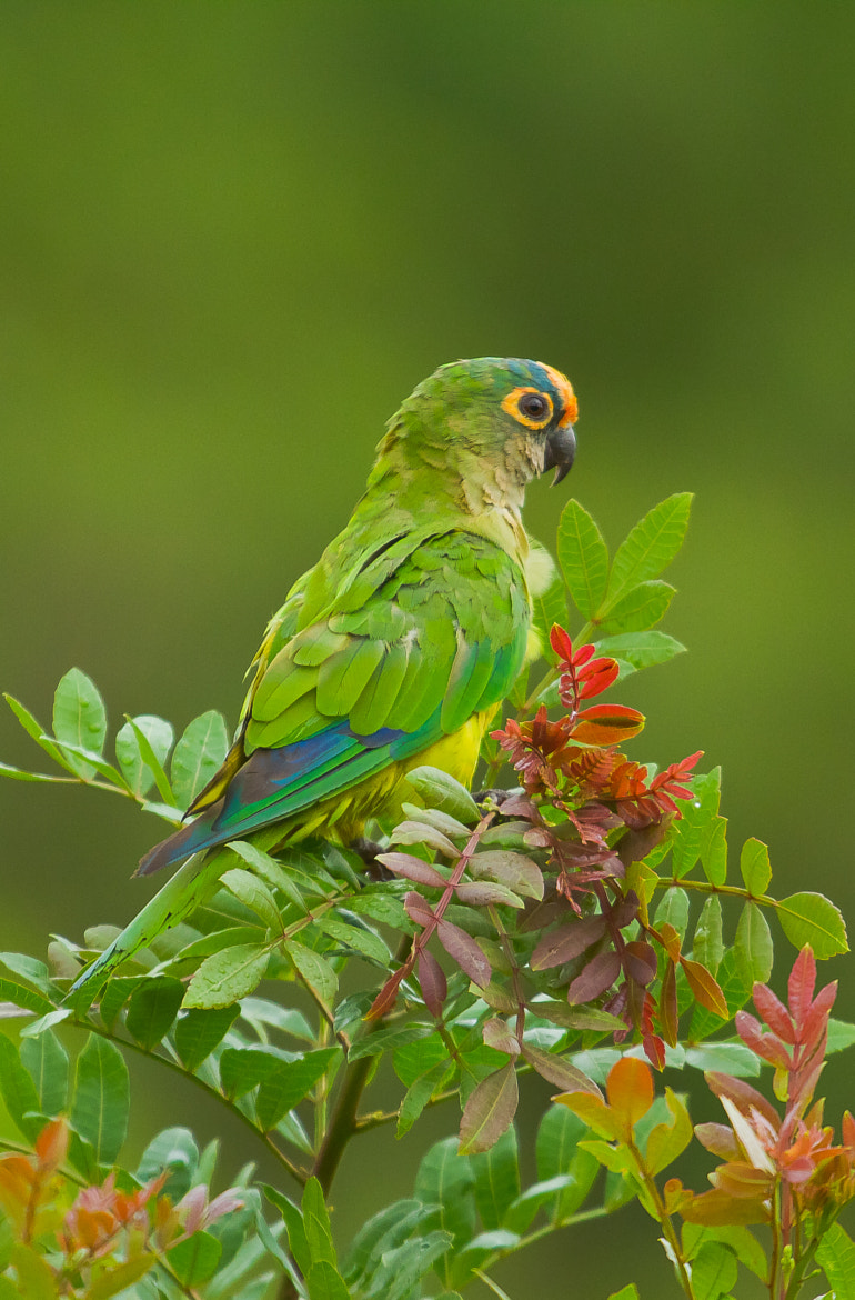 Photograph Peach-fronted Parakeet (Aratinga aurea) by Bertrando Campos on 500px