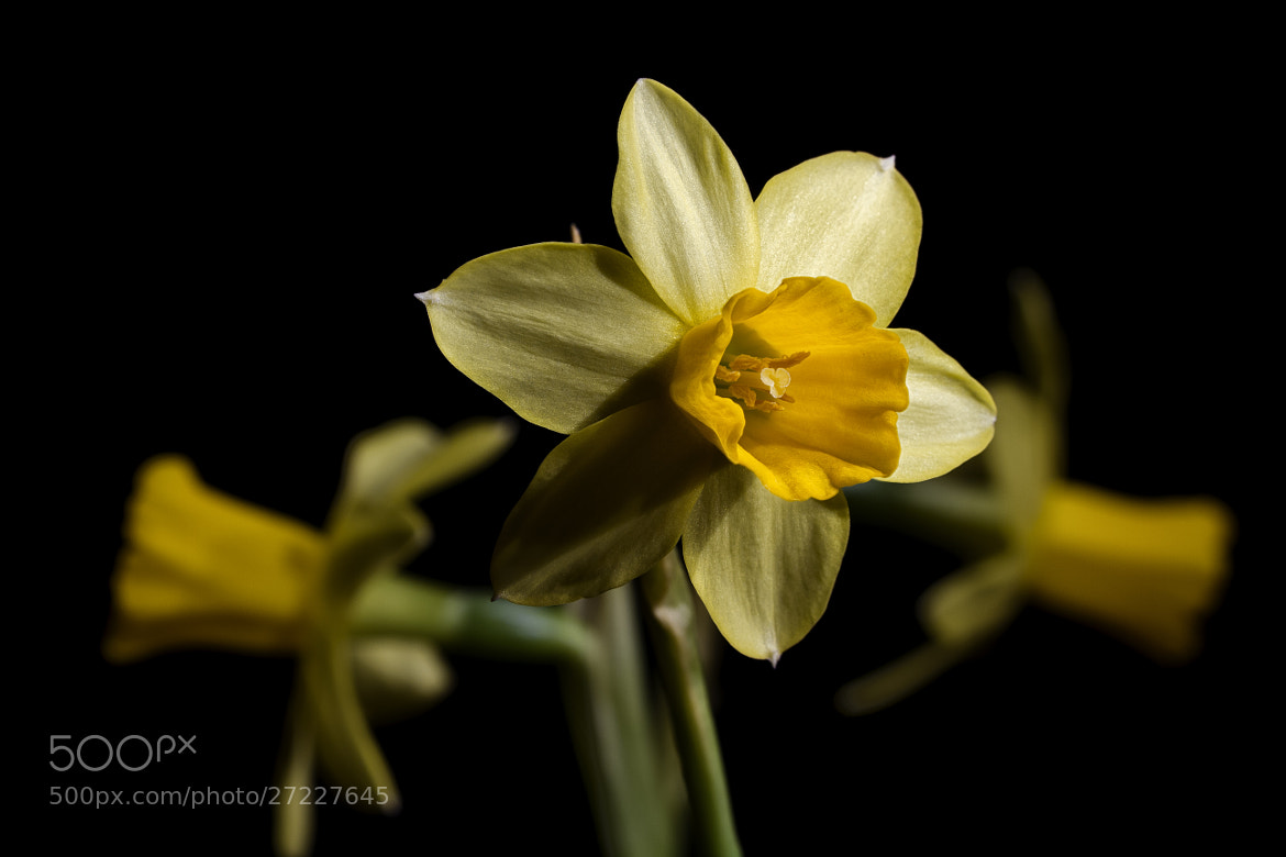 Photograph Daffodil by François Reiniche on 500px