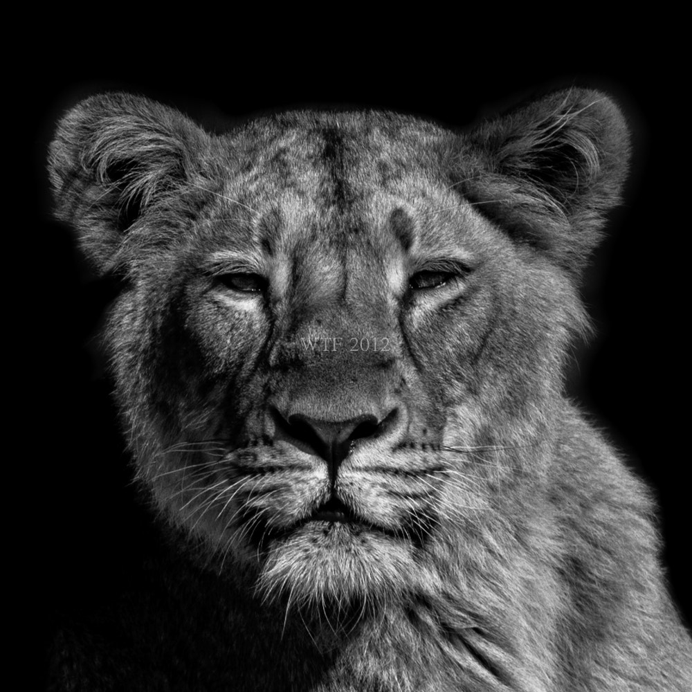 Photograph Lionne by Frank Annatar on 500px