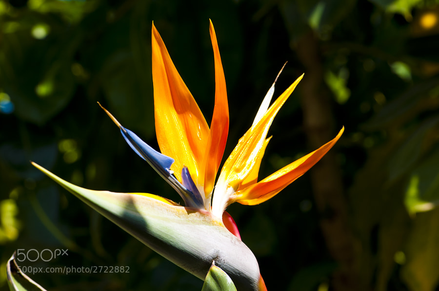 Taken in La Palma. I am unsure as to the exact species, but I believe it belongs to the Genus of Strelitzia