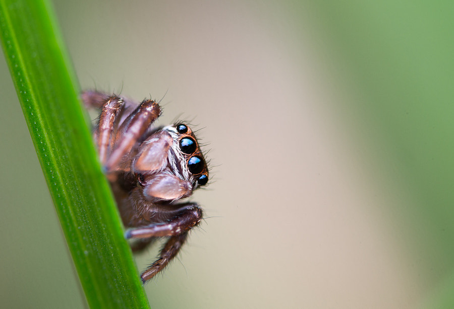 Jumping spider by Kurt Hohenbichler on 500px.com