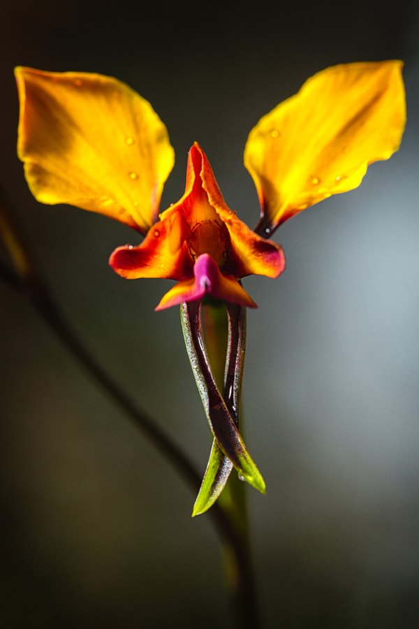 Pansy Orchid by Paul Amyes on 500px.com