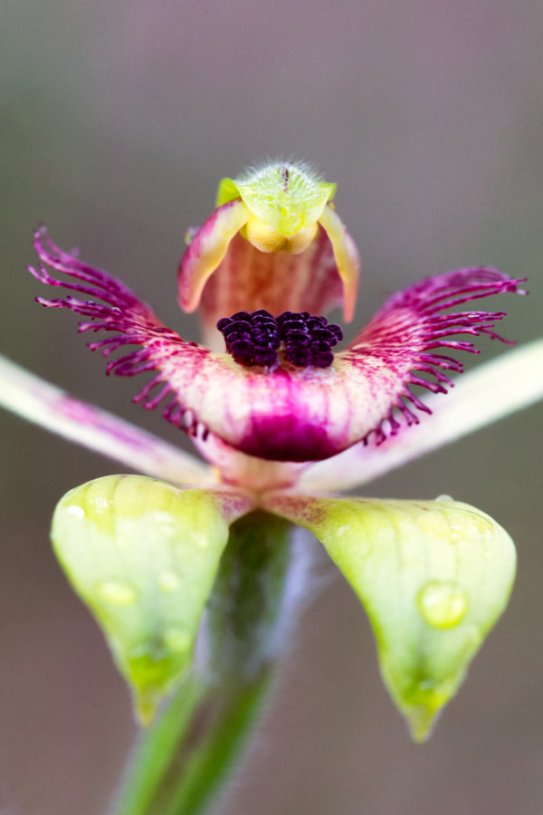 Dancing Spider Orchid by Paul Amyes on 500px.com