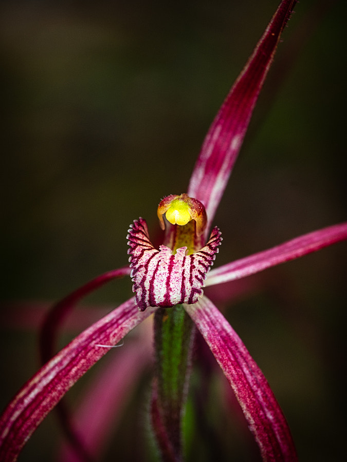 Crimson Spider Orchid by Paul Amyes on 500px.com