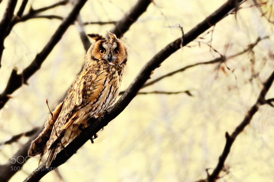 Longed Eared Owl Under Elements