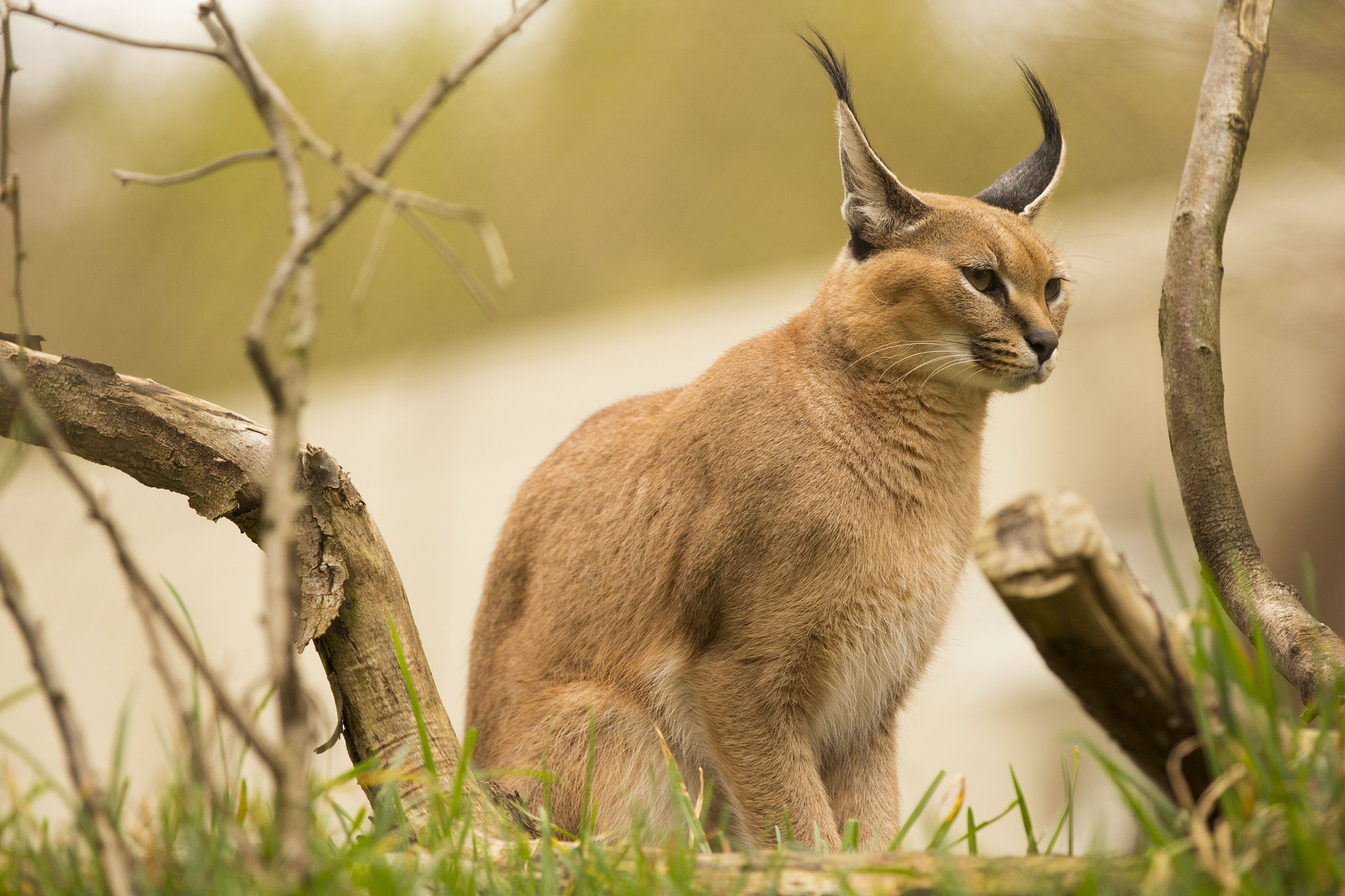 Photograph Caracal by Matt Sven Bjork on 500px