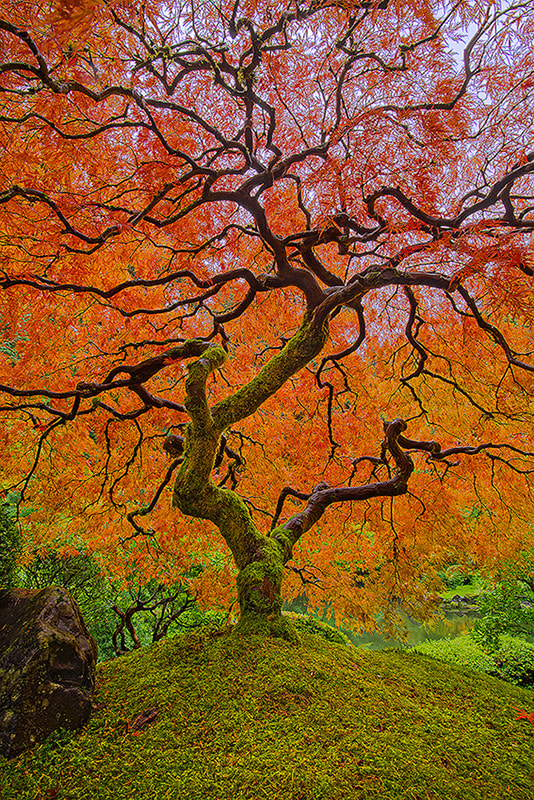 Photograph Old Maple by Henrik Anker Bjerregaard  Lundh III on 500px