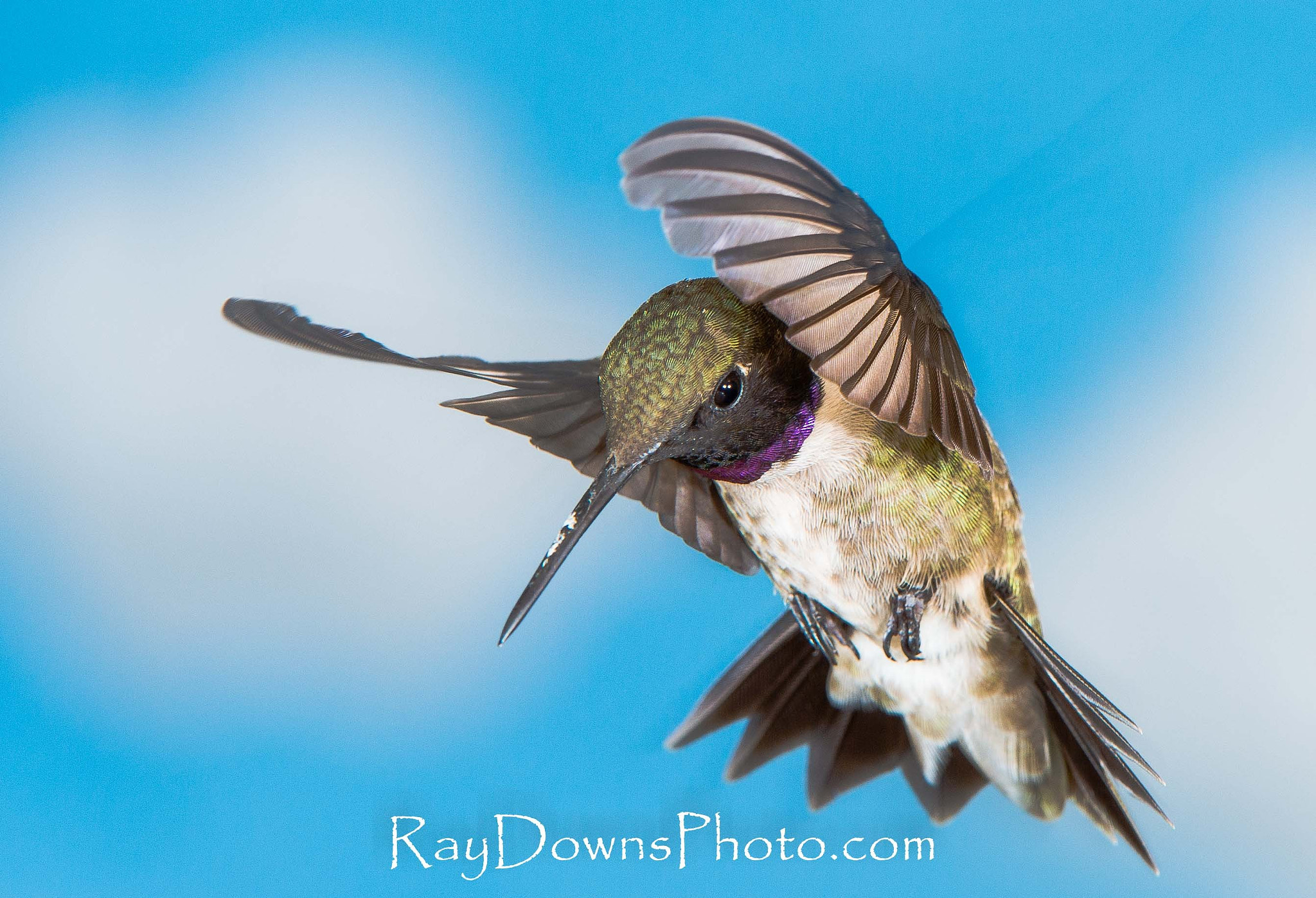 Photograph Black Chinned Humming bird by Ray Downs on 500px