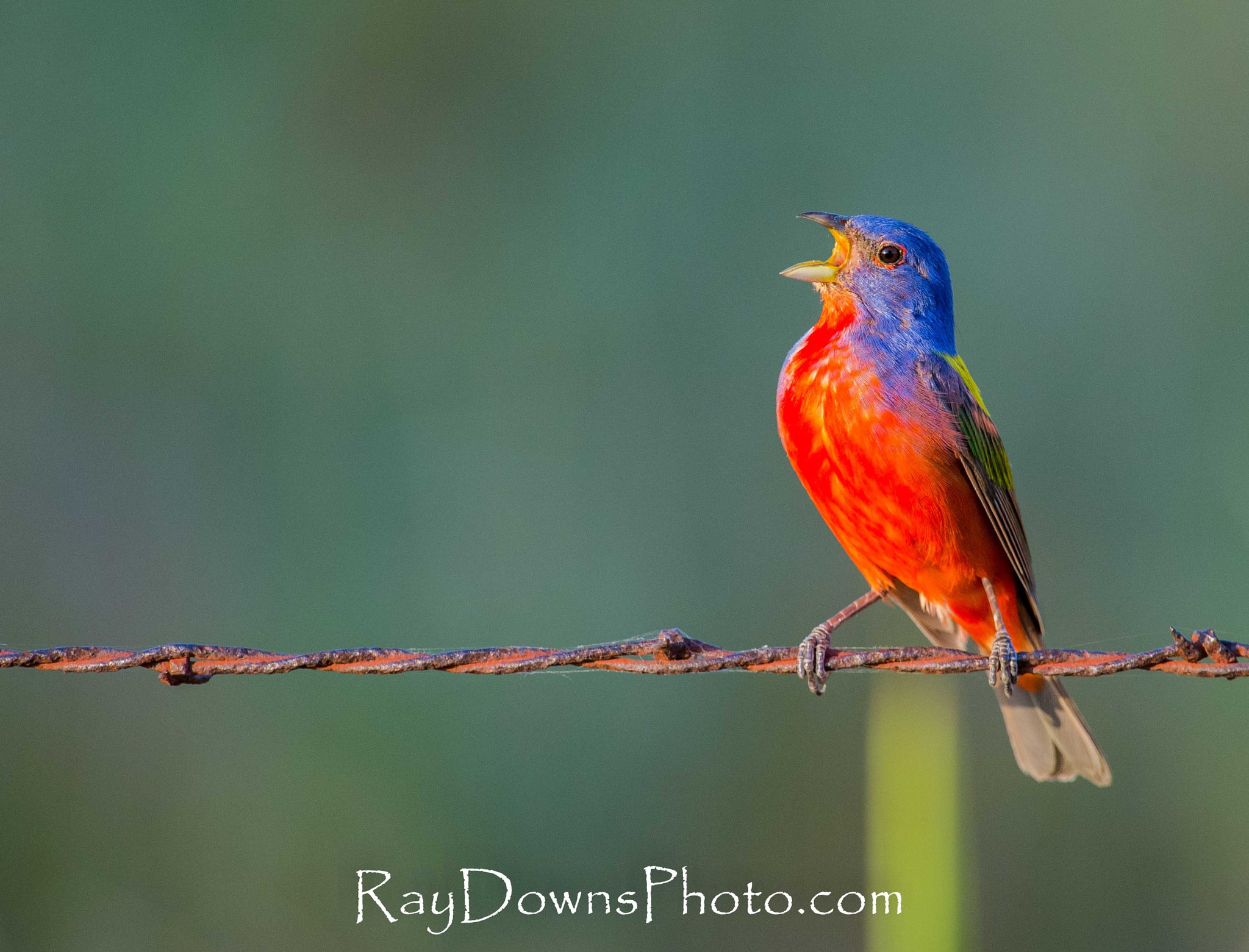 Photograph Painted Bunting Male Singing by Ray Downs on 500px