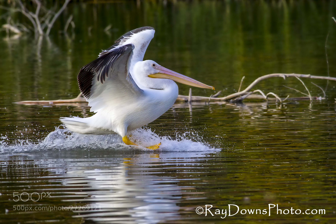 Photograph Pelican Touchdown! by Ray Downs on 500px