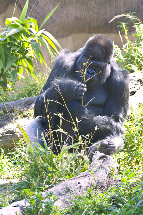 A gorilla thinking about what to do with a tree branch.