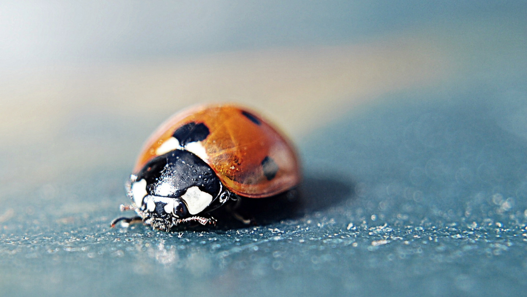 Photograph Macro Ladybird. by rosanna zavanaiu on 500px