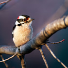 Постер, плакат: Downy Woodpecker Male on Limb