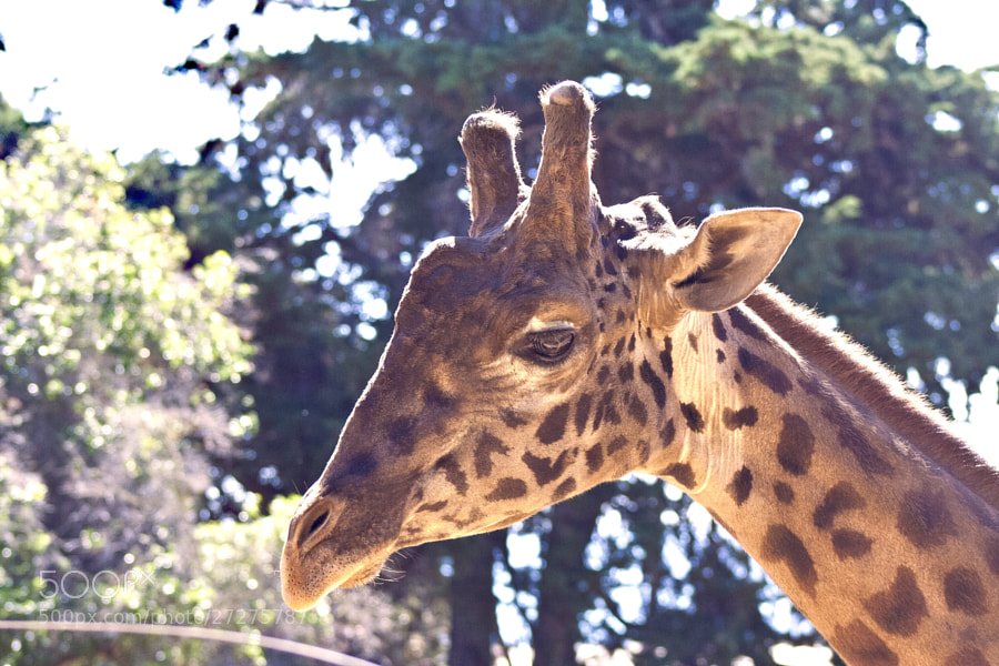 A giraffe enjoying the sunshine in Santa Barbara.