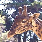 A giraffe enjoying the sunshine in Santa Barbara.