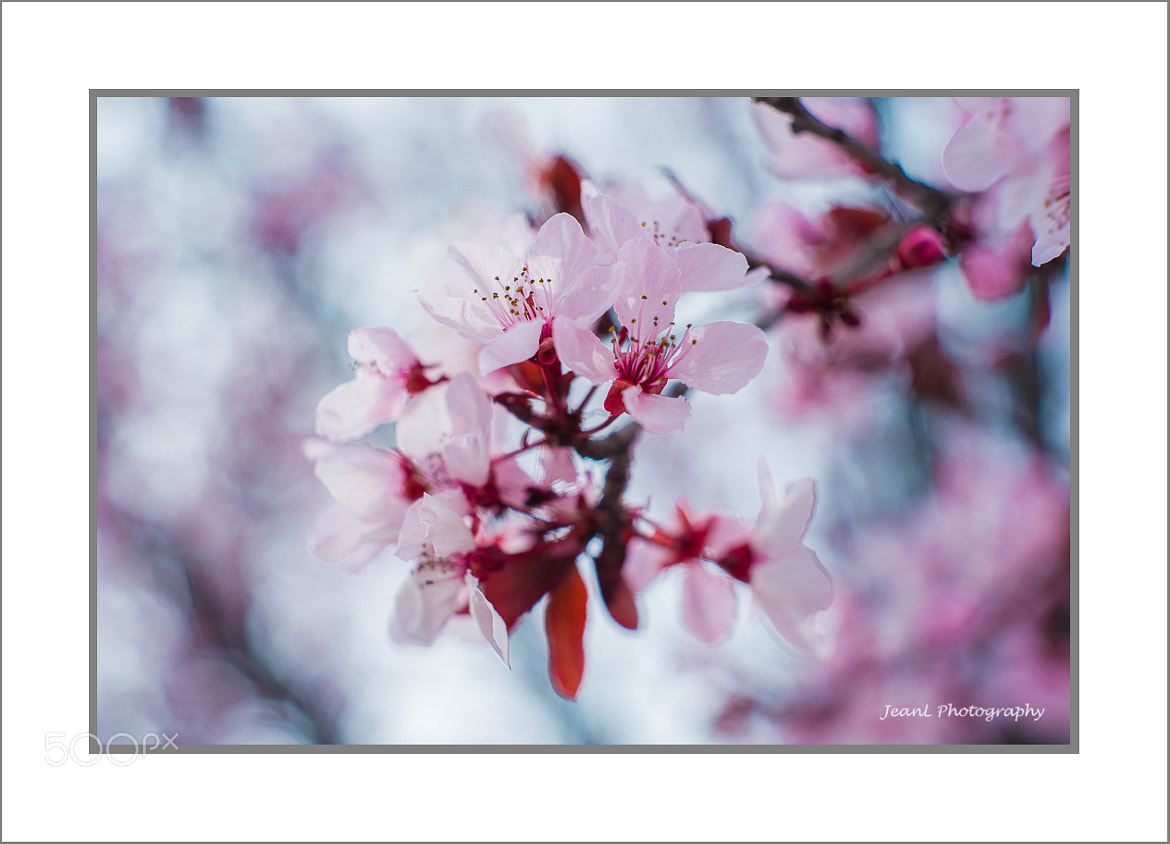 Photograph Cherry Blossom by Jean Li on 500px
