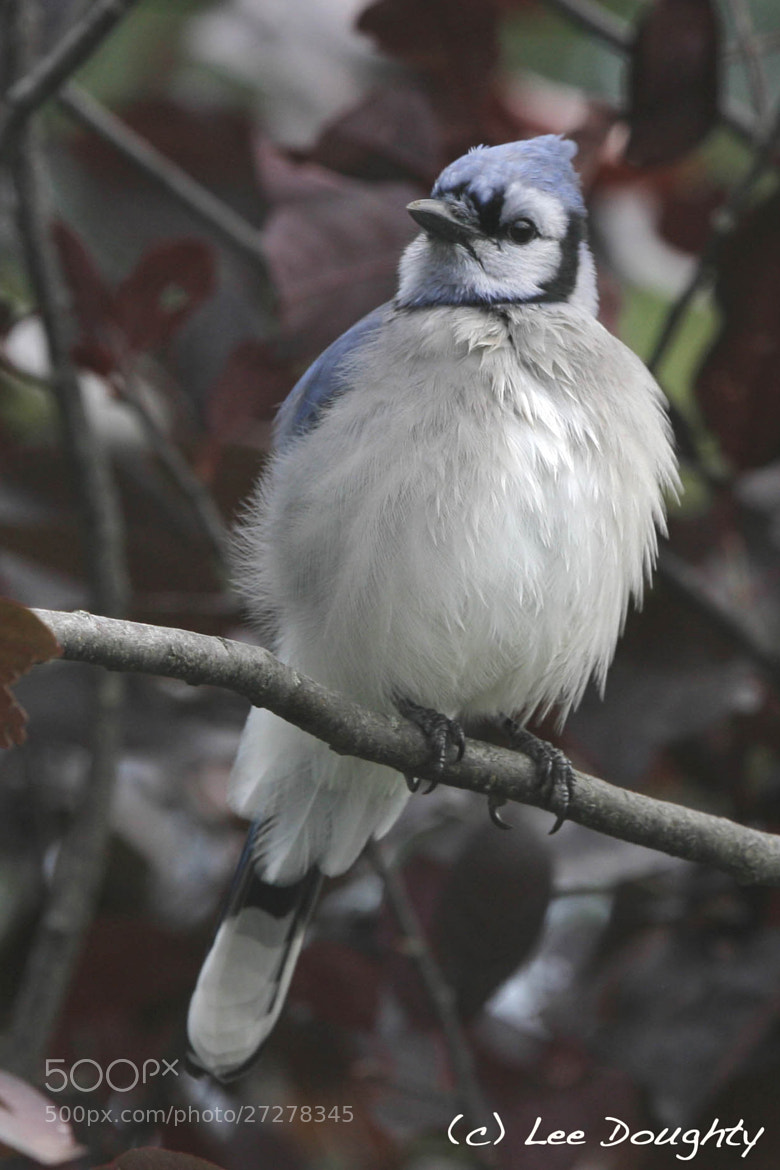 Photograph Blue Jay by Lee Doughty on 500px