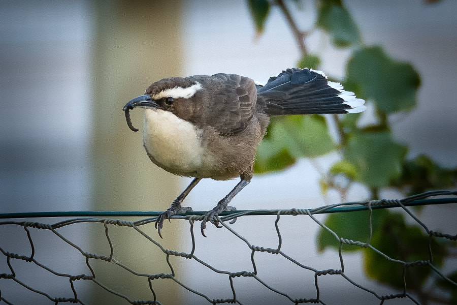 White-browed babbler by Paul Amyes on 500px.com