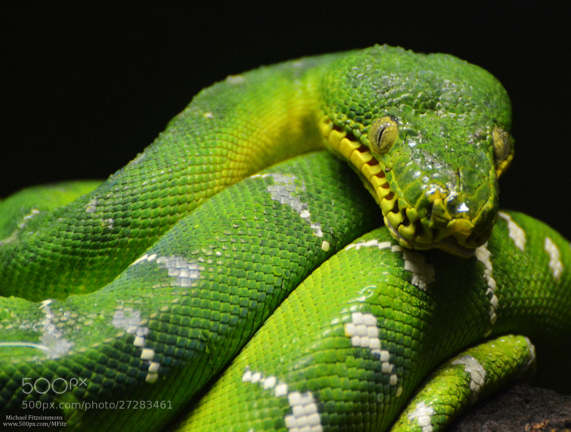 Photograph Green Tree Boa by Michael Fitzsimmons on 500px