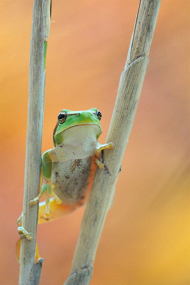 Photograph European tree frog by Georg Scharf on 500px