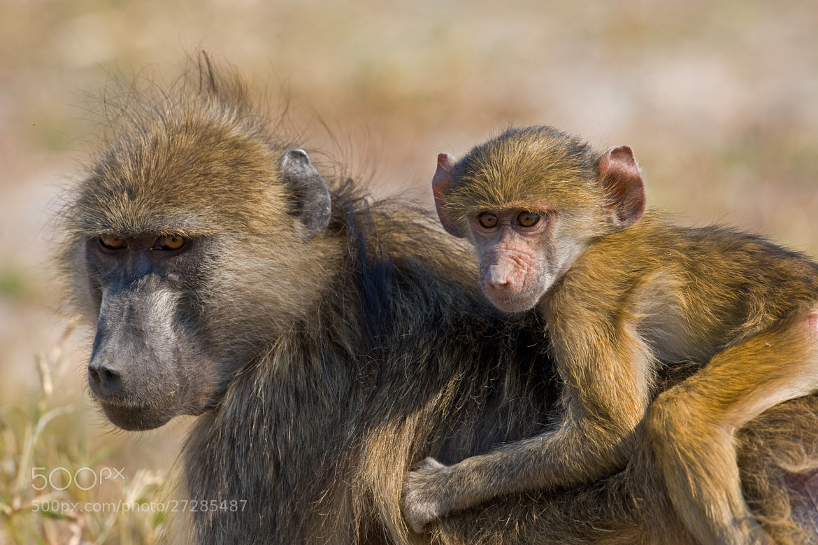 Photograph Baboon jockey by Marc MOL on 500px