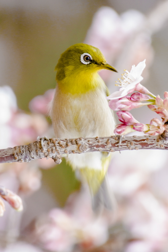 Photograph white-eye by Takeshi Marumoto on 500px