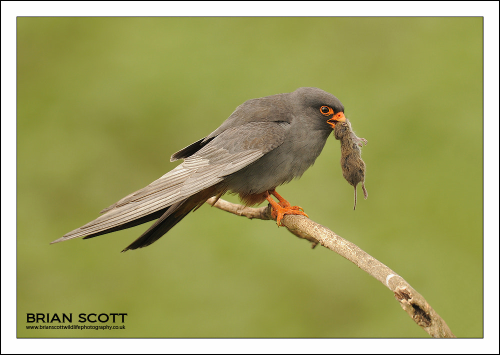 Photograph Red-footed Falcon by Brian Scott on 500px
