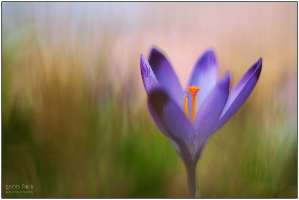 Photograph Crocus by Paolo Fanti on 500px