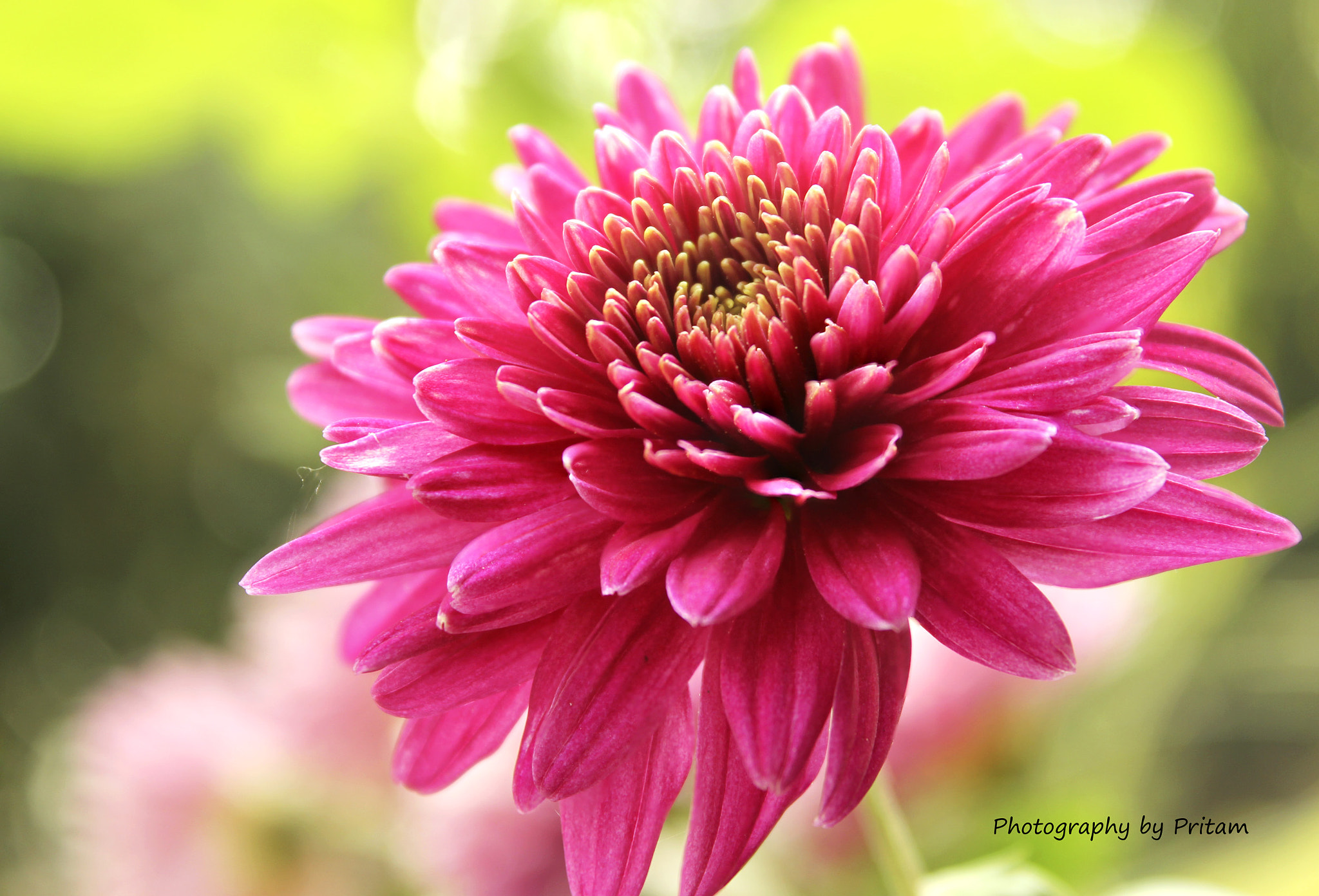 Photograph Chrysenthimum by Pritam Majumder on 500px