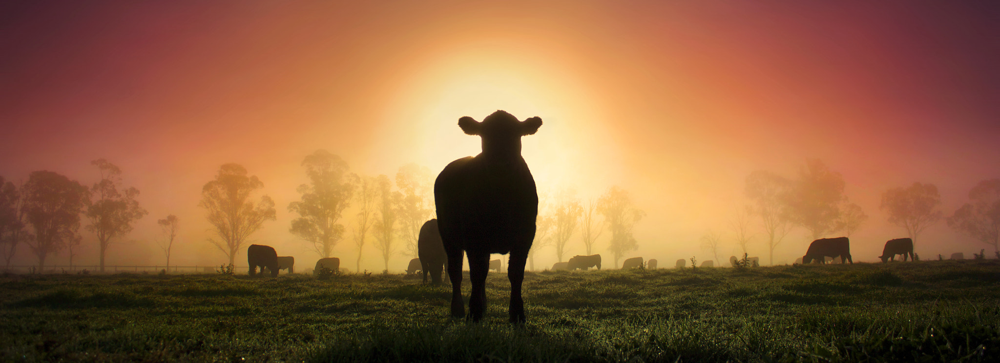 Photograph A Heavenly Aura || COWS IN THE HAWKESBURY by Rhys Pope on 500px
