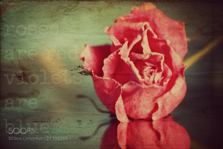 Photograph Roses are red by Margrét Elfa Jónsdóttir on 500px