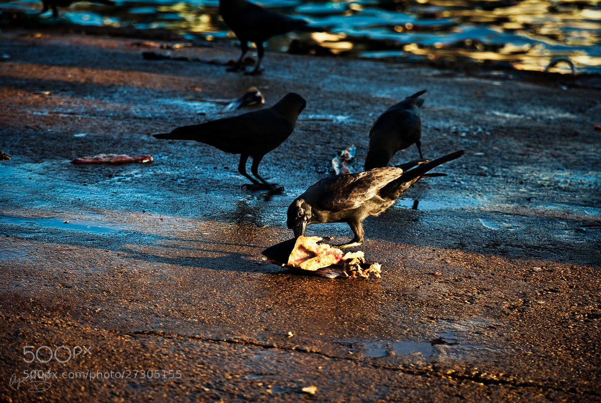 Photograph a crow breakfast by Ariel Patish on 500px