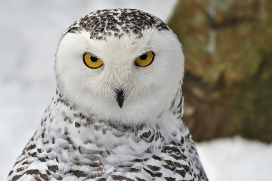 Photograph Grumpy Snowy Owl by Josef Gelernter on 500px